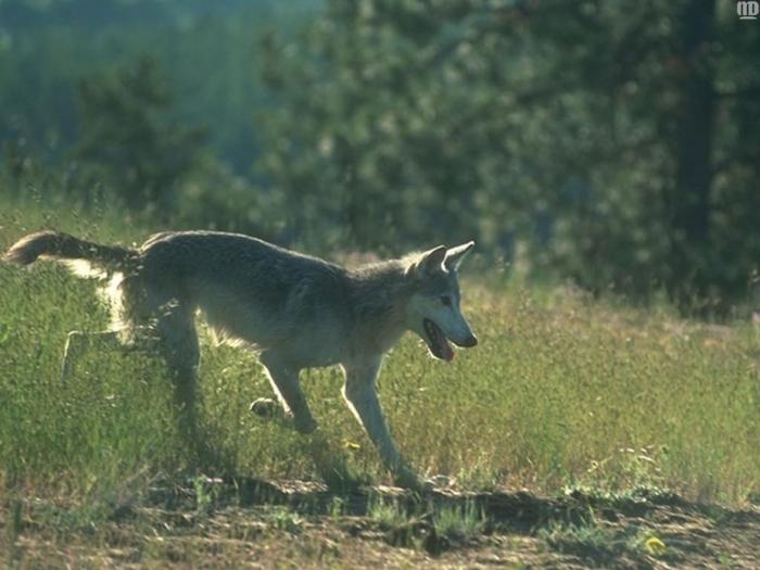 бритый волк фото приготовить