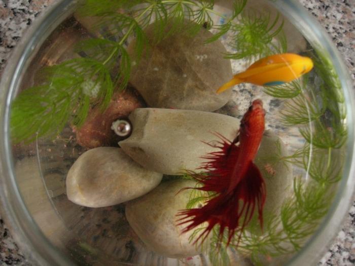 Рыба петушок в домашних условиях