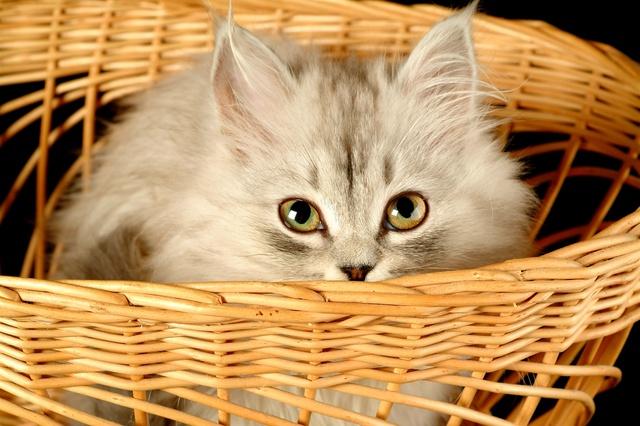 bengal cat ancestry